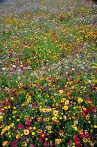 wildflower field